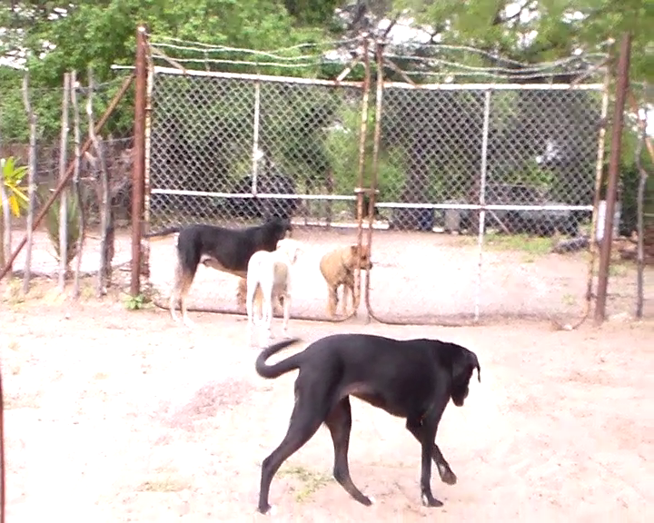 Dogs outside the farmhouse