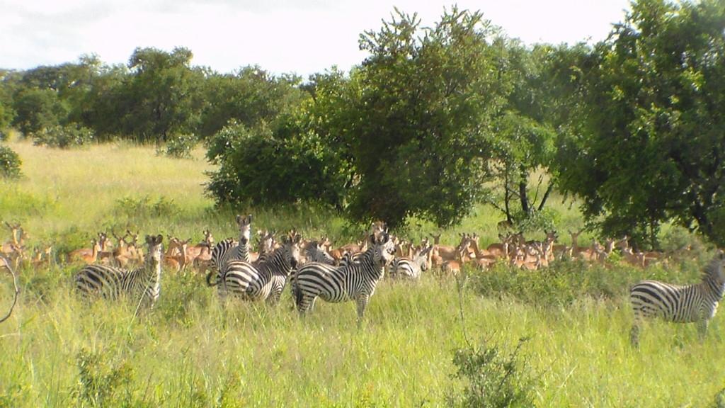 Crious Zebra & Impala